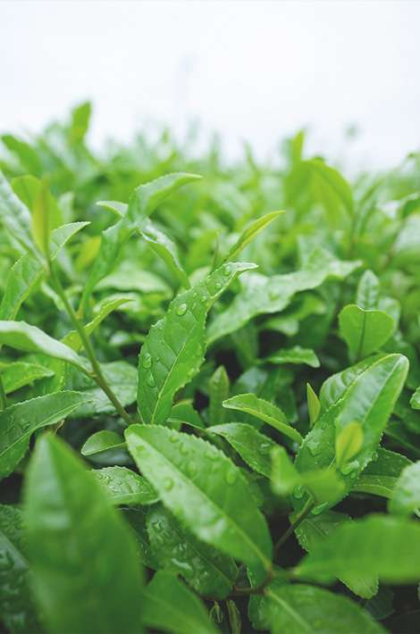 green-leafe