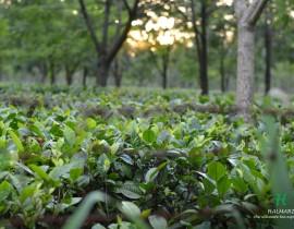 Tea Garden Halmari
