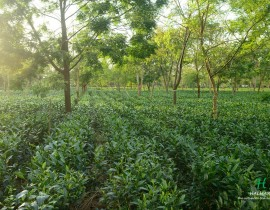 Tea garden with sunlight