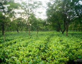 tea manufacturers in Assam