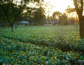 Halmari tea factory assam