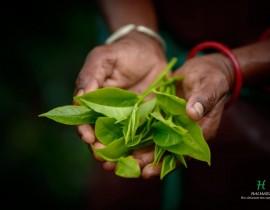 Tea leaf an hand