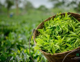 tea leaf collected for production