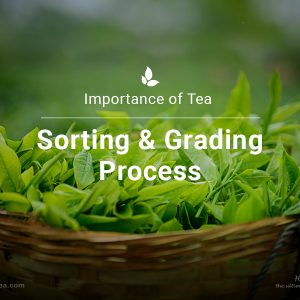 What Makes the Process of Tea Sorting and Grading Important?