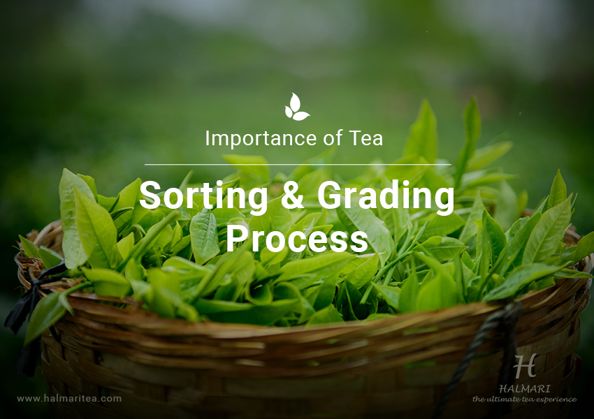 Process of Tea Sorting and Grading