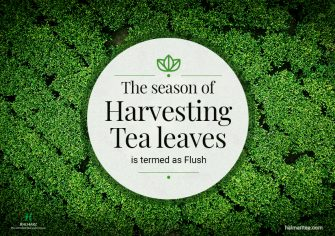 Know All About Tea Flush before Buying