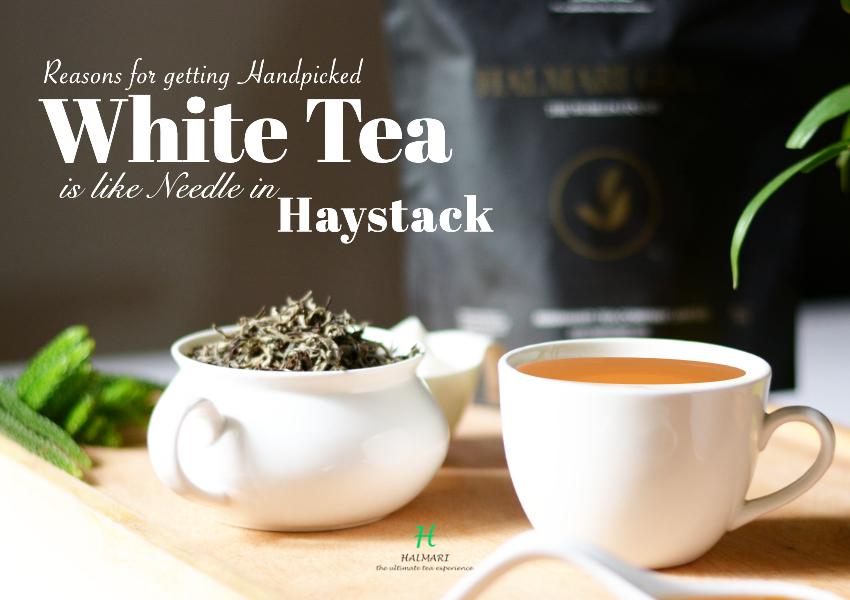 Handpicked White Tea is like Needle in Haystack